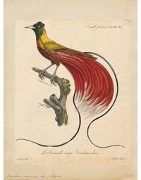 Rode paradijsvogel