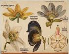 Plant en bloeiwijze Ranunculaceae